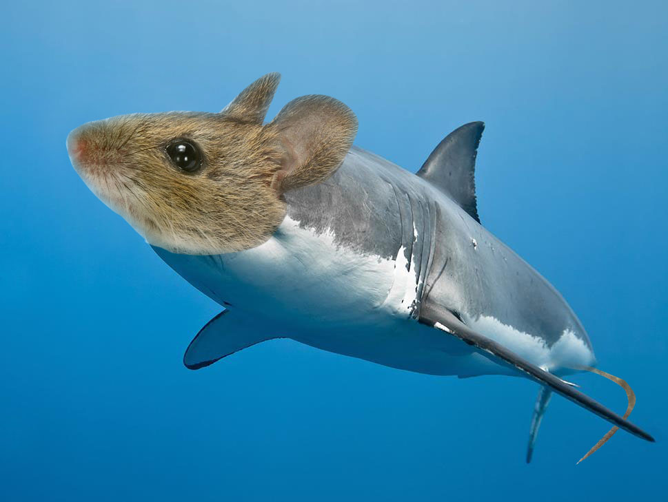 Stop mice - how a mouse behaves like a shark